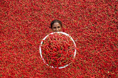 Woman earns daily wage by working in a red chili field, Bangladesh